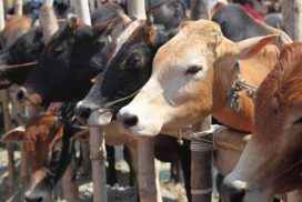 Govt authorizes Veterinary Dept to issue health certificate, challan to transport cattle in state