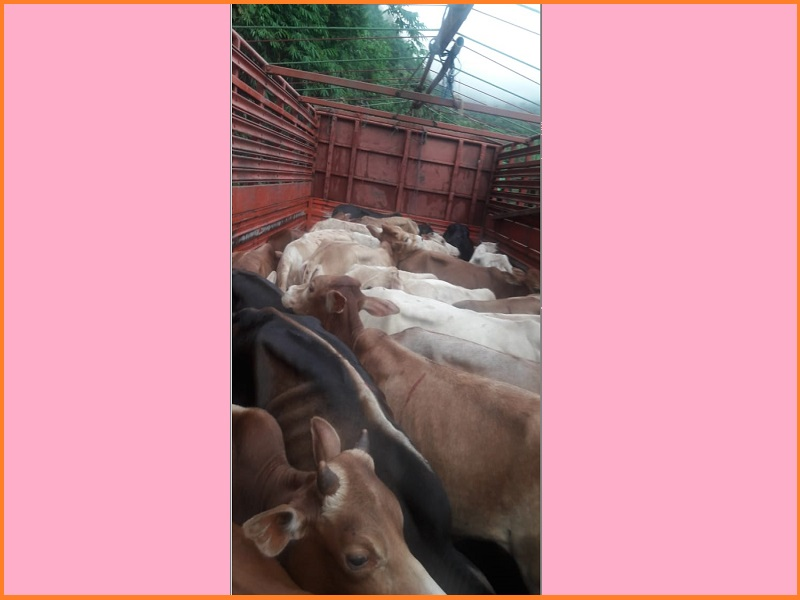 BSF apprehends two smugglers, 97 cattle worth Rs 55 lakh seized in East Jaiñtia Hills district